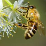 Api a rischio e miele scarso: si chiude un anno nero per la biodiversità
