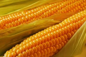 corn-monsanto-gmo