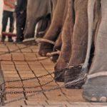 Ringling Bros: niente più elefanti al circo, dal 2018