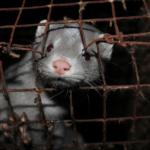 Allevamenti di visoni per farne pellicce: i Paesi Bassi confermano il divieto