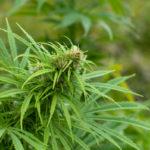 Cannabis terapeutica: intervista al dott. Bertolotto