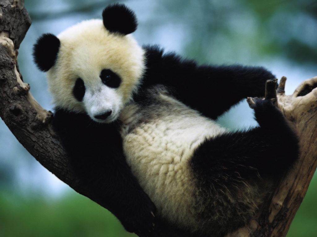 animal-panda-005