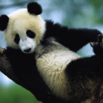Cina: salvo l'habitat del panda