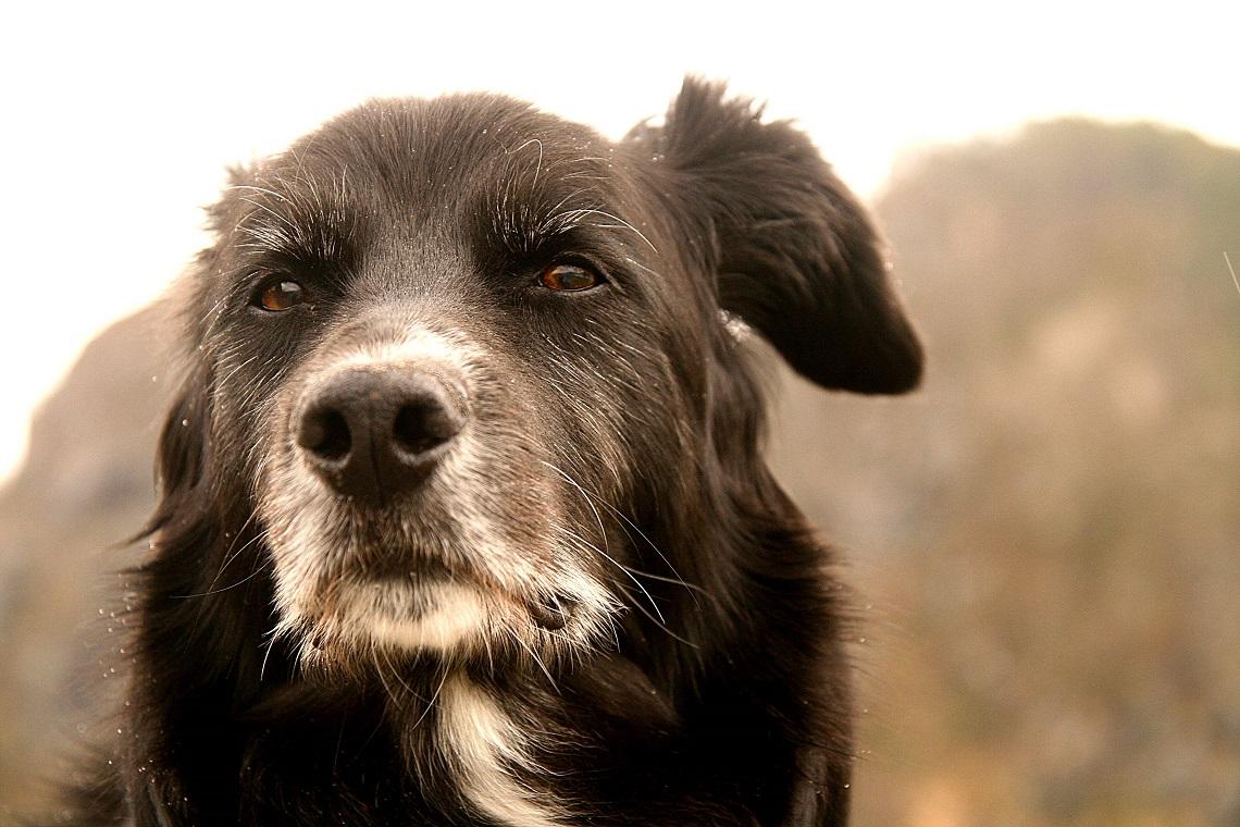 """aggiungi un nonno a tavola"""": perché adottare un cane anziano"""
