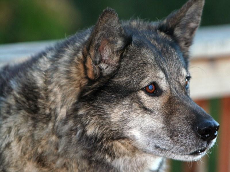000588-wolf2