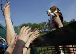 Green Hill allevava cani beagle destinati ai laboratori di tutta Europa, a Montichiari (Brescia)