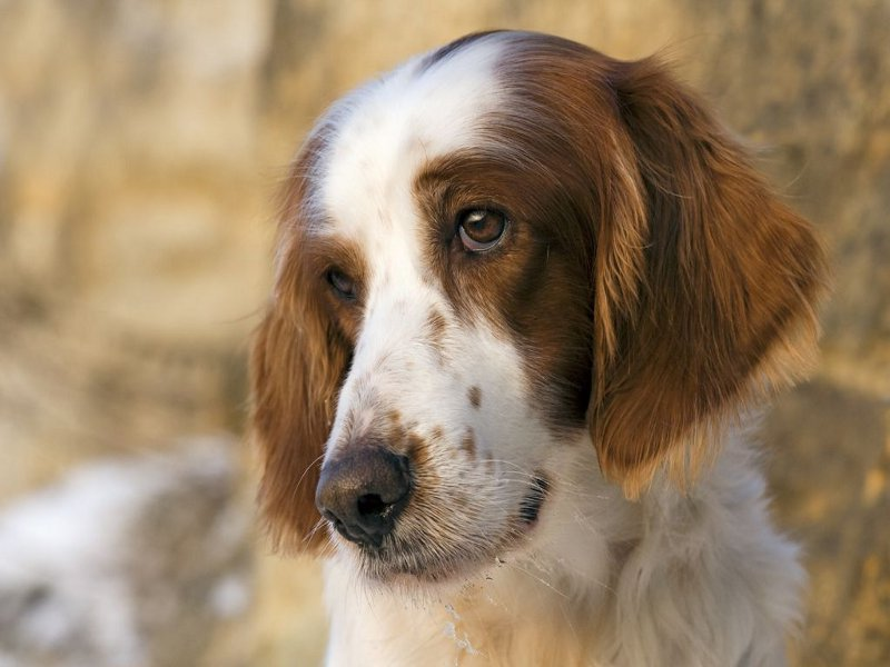 Dog Breeds White And Brown