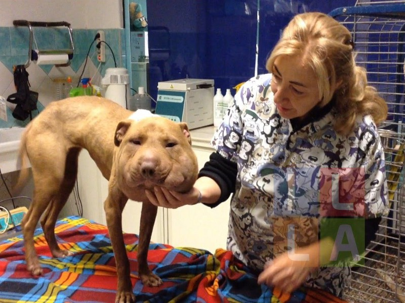 Palla, cane pittbull femmina dal muso sformato e dai grandi occhi disarmanti