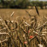 In Salento la resilienza dei semi antichi e degli agricoltori
