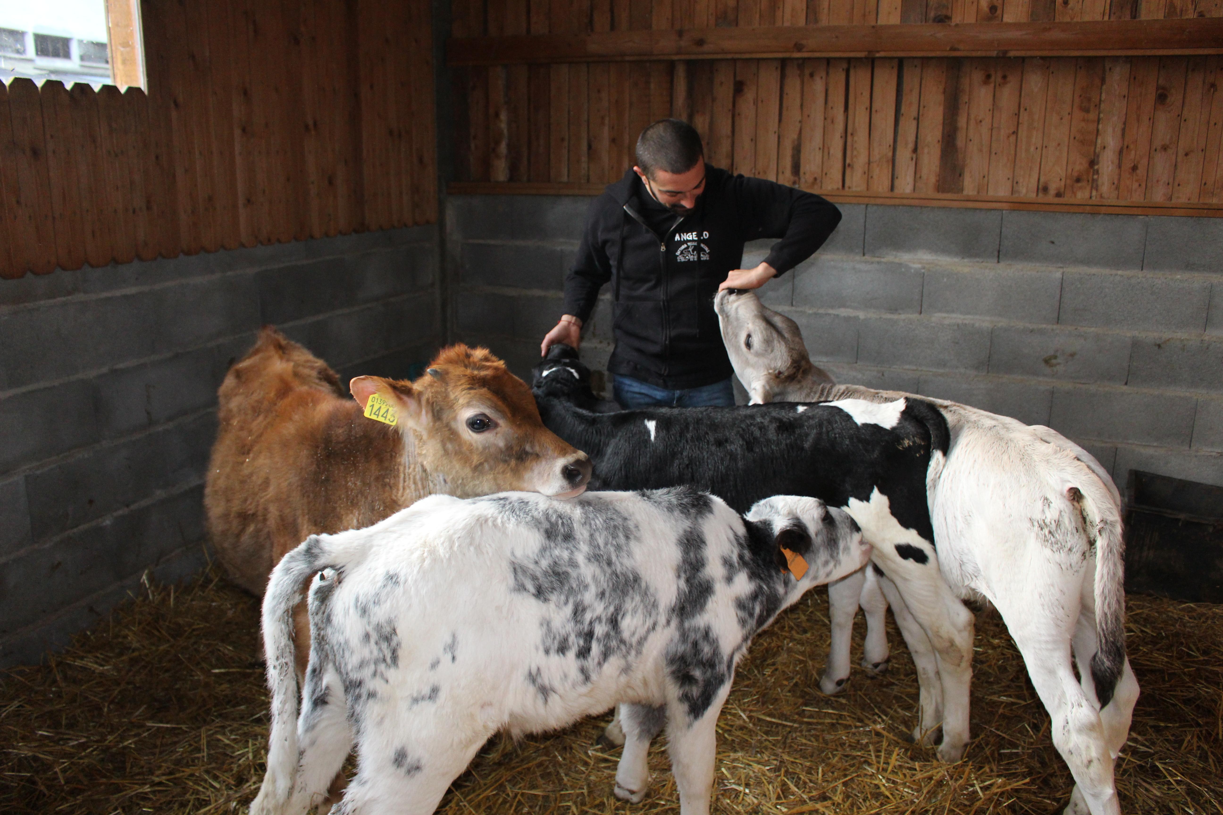 I vitellini della Fattoria delle Coccole