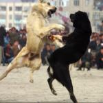 Combattimenti clandestini tra cani: ecco come fermarli