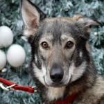 Natale: attenzione alle piante tossiche per gli animali