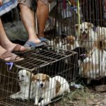 Corea del Sud: finalmente al bando la macellazione dei cani
