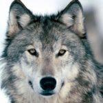 Licenza di uccidere i lupi? L'appello del WWF