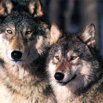 Abbattimento dei lupi: Piano rinviato