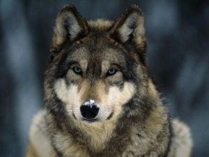 gray-wolf-closeup.jpg.adapt.945.1