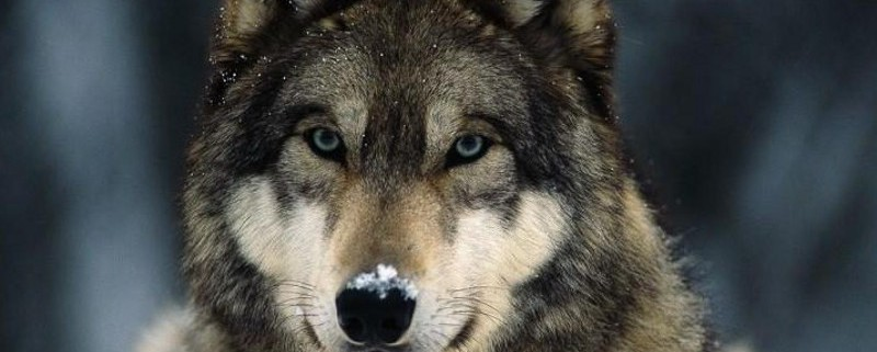gray-wolf-closeup.jpg.adapt.945.1