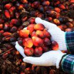 """""""L'olio di palma sostenibile non esiste"""""""
