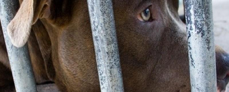 pibull-behind-bars