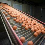 Uova contaminate, il prezzo da pagare per il profitto delle multinazionali
