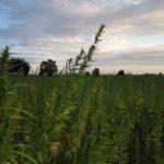 Nelle terre confiscate alla camorra ora cresce la canapa