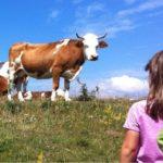 """L'appello dell'allevatrice veg: """"Adottate le mucche che ho salvato dal macello!"""""""