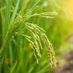 La rivoluzione del Filo di Paglia, introduzione all'agricoltura naturale