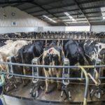 Vacche al pascolo o in stalla? L'etichetta non lo dice
