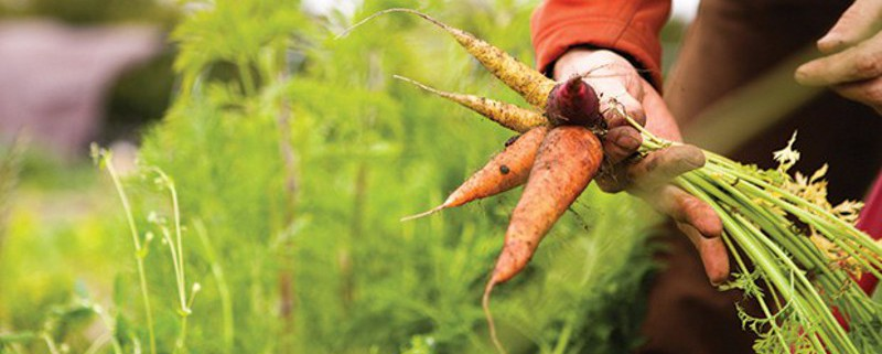 green-heart-family-farm-carrot-harvest_credit-Robin-Jolin1