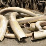 Bando storico: la Cina vieta il commercio d'avorio
