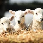 Strage di Pasqua: saranno uccisi 500mila agnelli