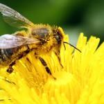 L'Europa vieta i pesticidi che uccidono le api