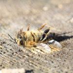 Le api e le altre vittime dell'agricoltura industriale