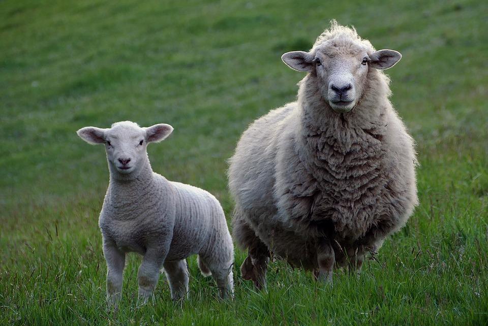 pastorizia-urbana-