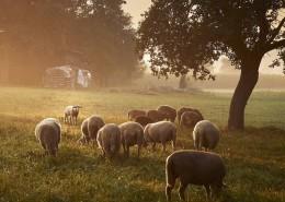 pastorizia-urbana