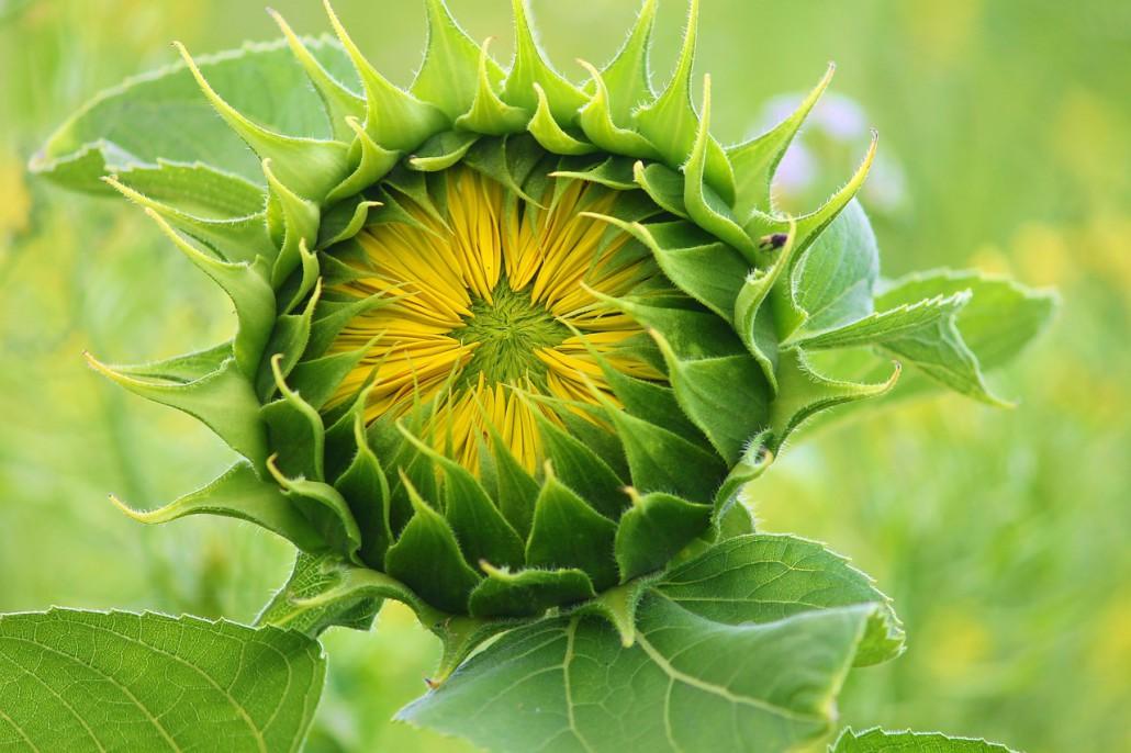sun-flower-3536155_1280