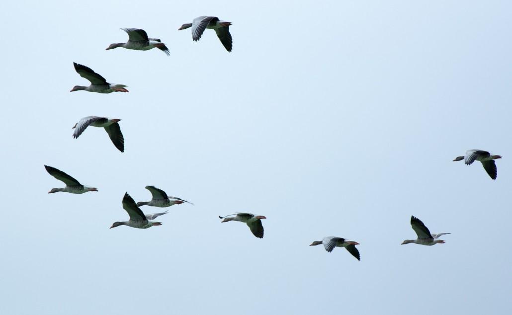 flock-of-birds-508039_1920