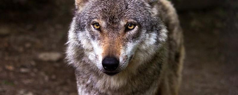 wolf-635063_960_720