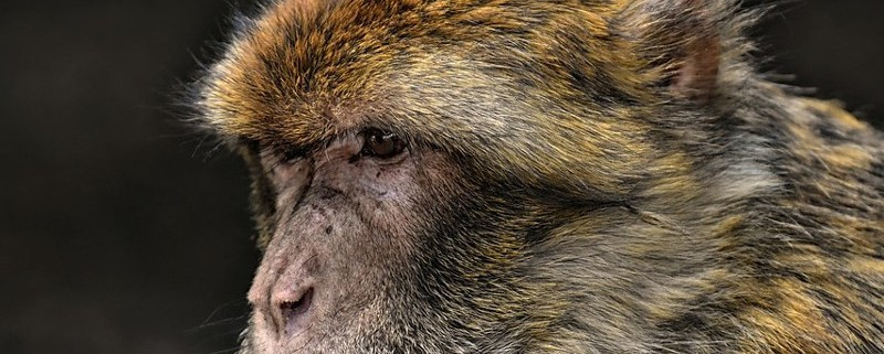 barbary-ape-3577078_960_720