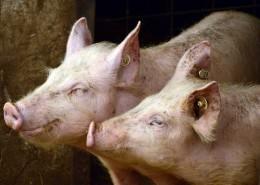 pigs-3967549_960_720
