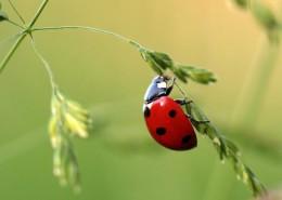 alba-coccinelle-diventano-portafortuna-naturale-difesa-verde-pubblico