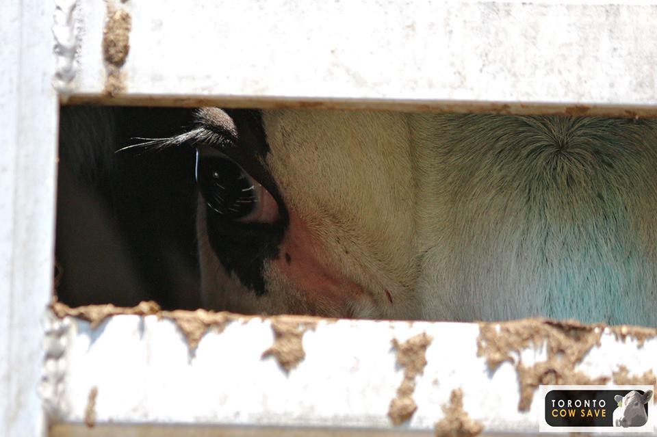 Foto di Agnes Cseke, Toronto Cow Save