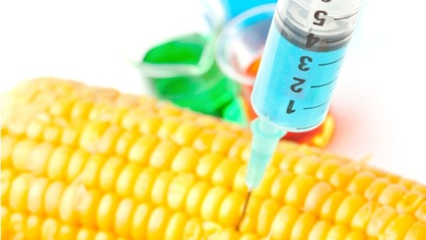 Monsanto-GMO-corn