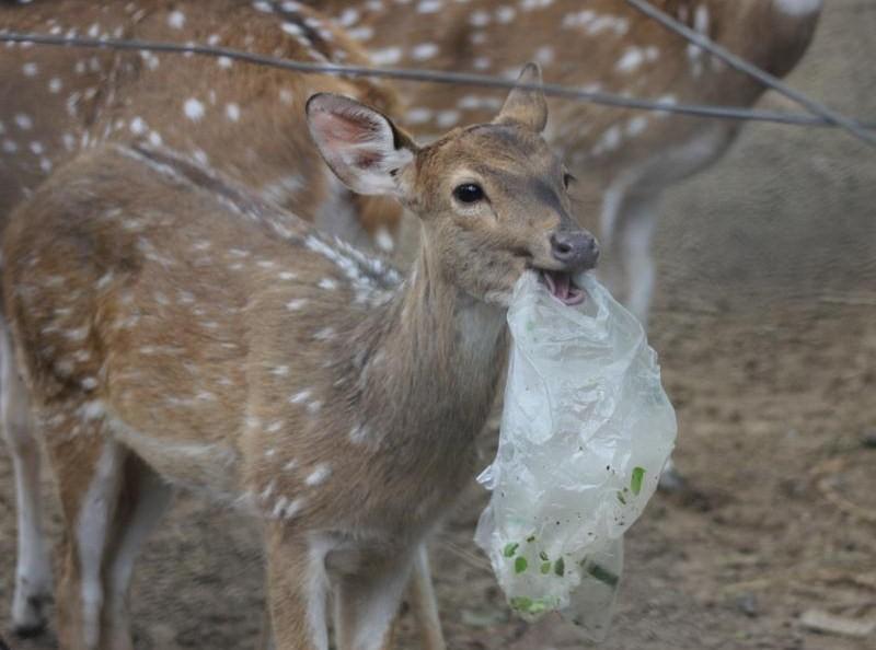 Il cervo ha scambiato il sacchetto di plastica per uno spuntino (Foto di Zee Bags)