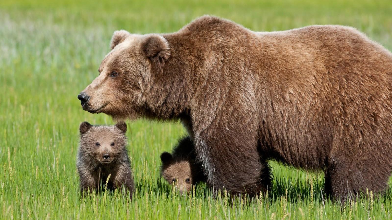 L'orsa Daniza con i suoi cuccioli