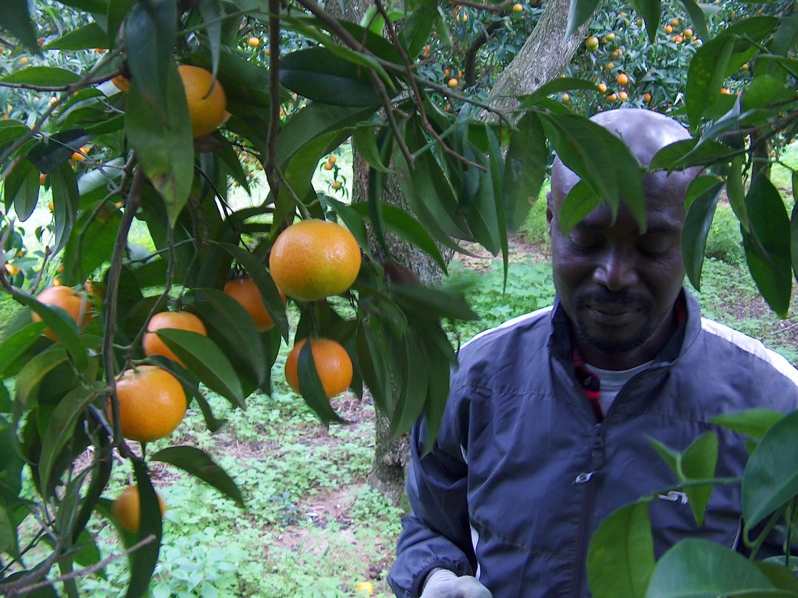 Raccolta arance