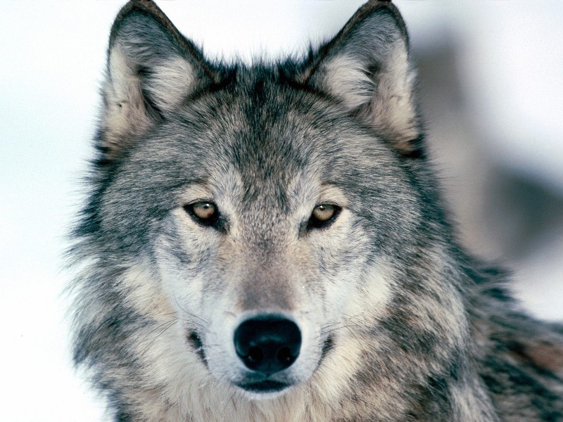 Wolf-un-dominated-wolves-19664762-1600-1200