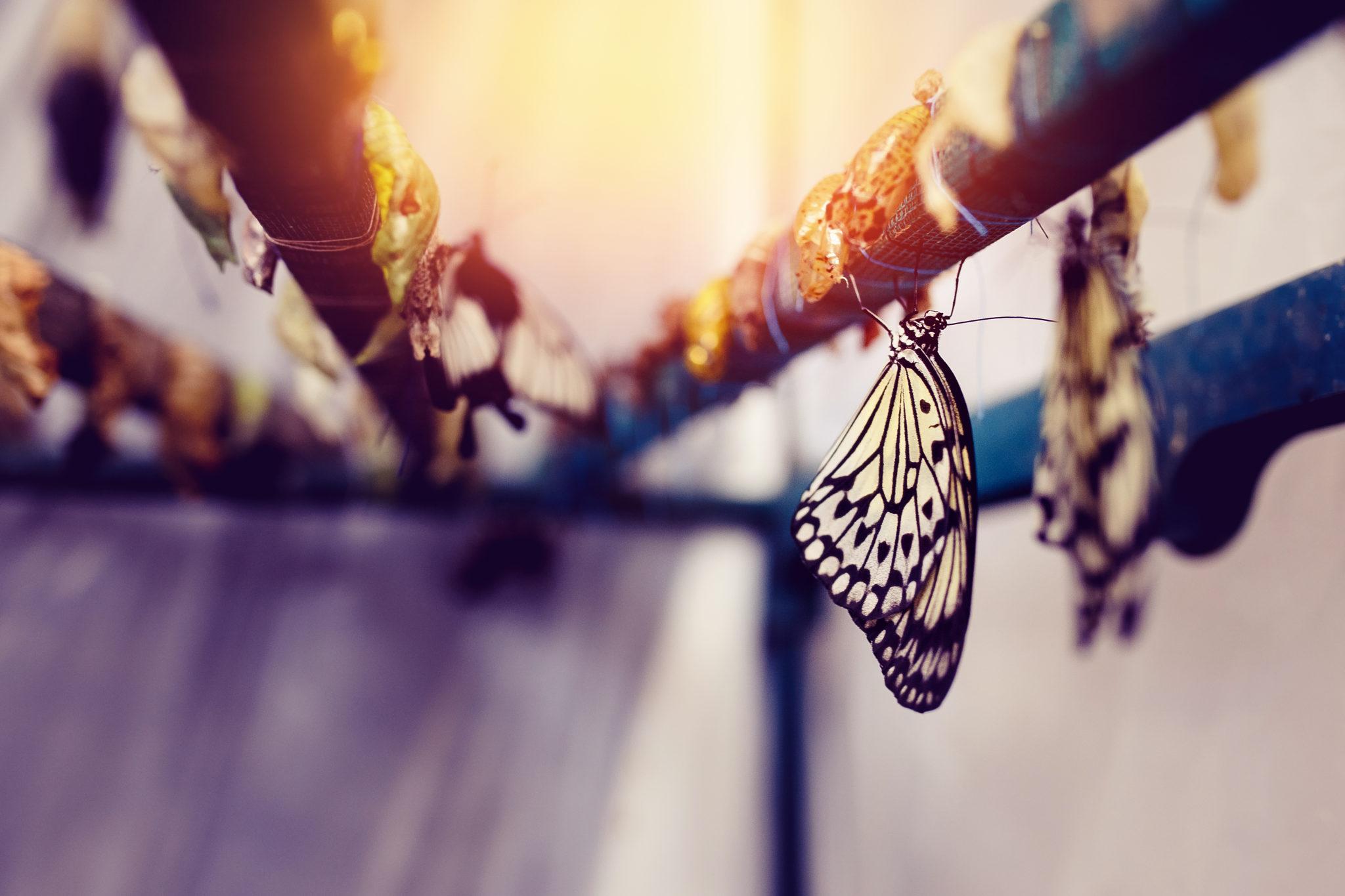 butterfly-tranformation