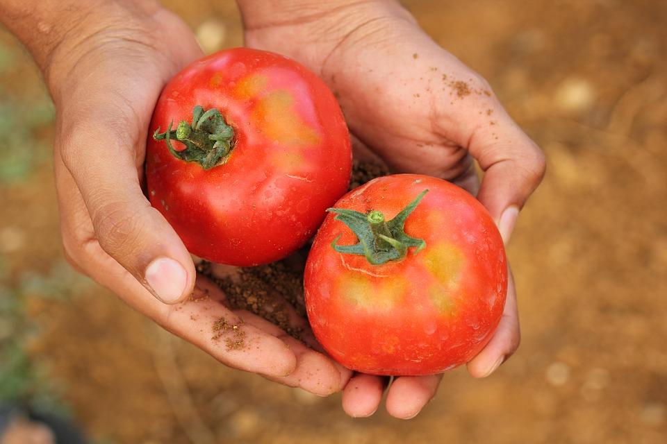 tomato-2450370_960_720