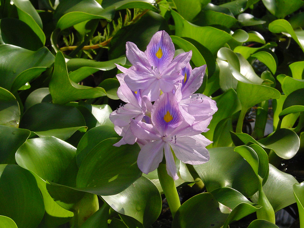 Il giacinto d'acqua (Eichhornia crassipes)
